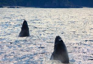 ザトウクジラのペアのスパイホップの写真素材 [FYI02648551]