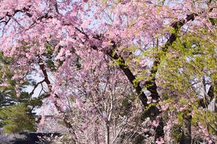 皇居に咲くサクラ 乾通り通り抜けの写真素材 [FYI02648565]