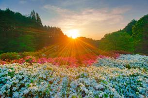 ツツジと朝日の光芒の写真素材 [FYI02648582]