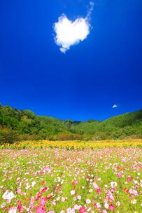 ヒマワリとコスモスの花畑と独鈷山とハートの雲の写真素材 [FYI02648653]