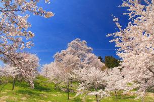 ソメイヨシノとエドヒガンなどの桜の写真素材 [FYI02648670]
