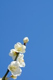 甲東梅林 梅の花 白玉梅の写真素材 [FYI02648746]