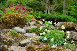 上三依水生植物園に咲くコマクサの写真素材 [FYI02648757]