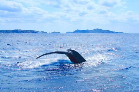 ザトウクジラのプルークアップダイブと阿嘉島など慶良間諸島の写真素材 [FYI02648782]