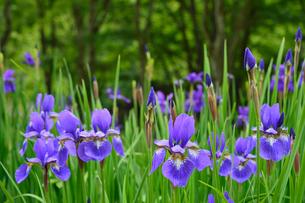アヤメの花咲く上三依水生植物園の写真素材 [FYI02648786]