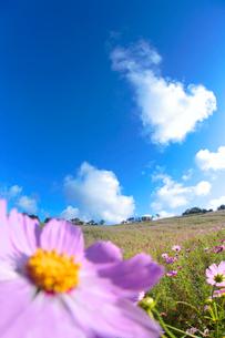 コスモス畑と綿雲の写真素材 [FYI02648808]