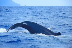 ザトウクジラのプルークアップダイブの写真素材 [FYI02648816]