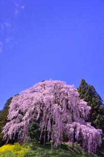 合戦場のしだれ桜と菜の花の写真素材 [FYI02648907]