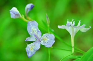 高尾山さる園 野草園に咲くヒメシャガの写真素材 [FYI02648910]