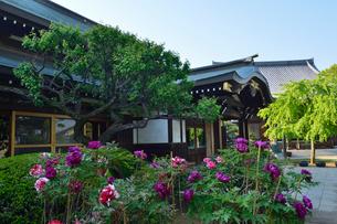 ボタンの花咲く西光院境内の写真素材 [FYI02648920]
