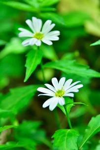 高尾山さる園 野草園に咲くミヤマヨメナの写真素材 [FYI02648974]