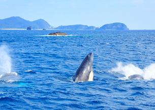 ザトウクジラのスパイホップの写真素材 [FYI02648984]