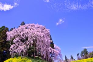 合戦場のしだれ桜と菜の花の写真素材 [FYI02649002]