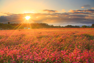 花咲く赤そば畑と南アルプスの山並みと朝日の光芒の写真素材 [FYI02649187]