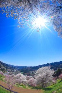 ソメイヨシノなどの桜と木もれ日の光芒,魚眼レンズの写真素材 [FYI02649234]