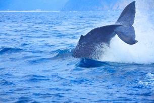 ザトウクジラのテールスラップの写真素材 [FYI02649299]