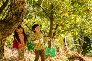 秋の栗農園を歩く女の子と男の子の写真素材 [FYI02649300]