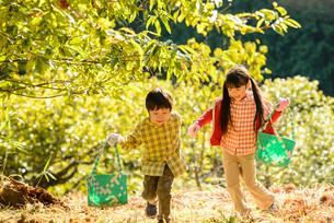 秋の栗農園を歩く女の子と男の子の写真素材 [FYI02649471]