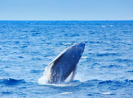 ザトウクジラのブリーチの写真素材 [FYI02649474]