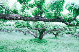 梨園の緑の写真素材 [FYI02649486]