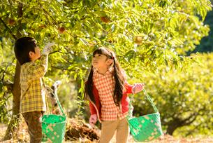 秋の栗農園を歩く女の子と男の子の写真素材 [FYI02649513]