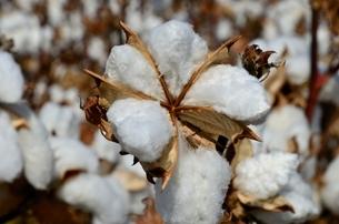 はじけた綿の実の写真素材 [FYI02649527]