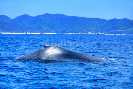 ザトウクジラの輝く背の写真素材 [FYI02649597]