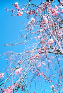 垂れ桜の写真素材 [FYI02649652]