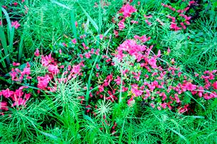 咲き始めのツツジの花の写真素材 [FYI02649711]