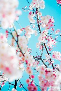 垂れ桜の写真素材 [FYI02649763]