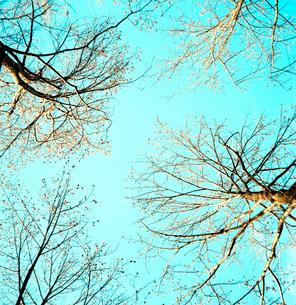 四本の大木の枯れ枝越しにみる冬の青空の写真素材 [FYI02649774]