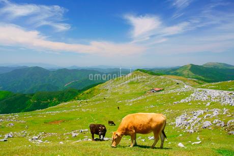 ジャージー種と黒毛和牛と五段高原の石灰岩群と風力発電の風車の写真素材 [FYI02649886]