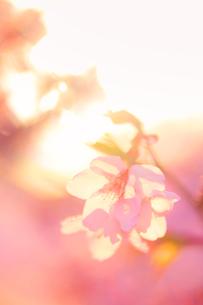 桜のアップと夕日の木もれ日の写真素材 [FYI02649962]