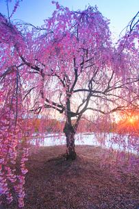 ベニヤエシダレと朝日の木もれ日と雪の写真素材 [FYI02650005]