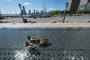 ワールド ファイナンシャルセンターの人工池で泳ぐ鴨の写真素材 [FYI02650148]