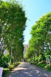 タウンズ八王子のケヤキ並木の写真素材 [FYI02650207]