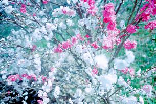 紅白に咲き分けた桃の花の写真素材 [FYI02650291]