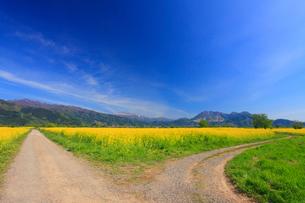 菜の花畑と分かれ道と城蔵山と焼額山と高社山の写真素材 [FYI02650342]