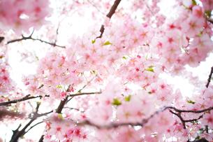住宅地の早咲きの桜の写真素材 [FYI02650386]