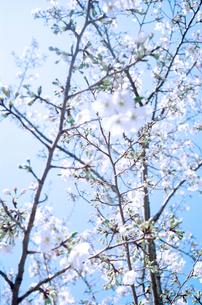 桜の花の写真素材 [FYI02650427]