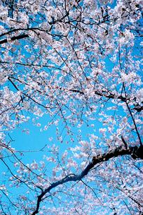 青空と垂れ桜の写真素材 [FYI02650493]