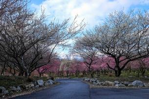 梅林と鈴鹿山脈の写真素材 [FYI02650539]