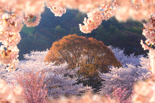 ソメイヨシノなどの桜と芽吹くケヤキの写真素材 [FYI02650587]
