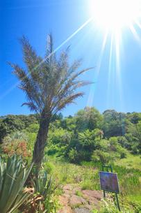 ナツメヤシなどの亜熱帯植物とモネの絵と太陽の光芒の写真素材 [FYI02650614]