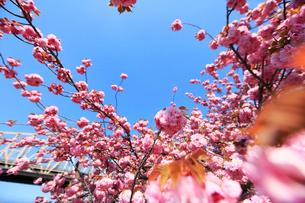 ルーズベルトアイランド桜と青空の写真素材 [FYI02650629]