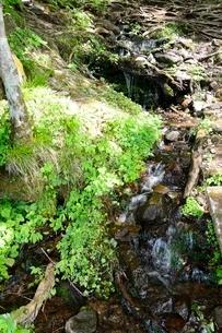 別宮大カツラの根元からの清水が湧き出すの写真素材 [FYI02650718]