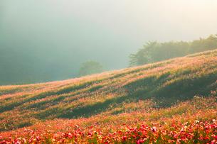 朝の光の中のコスモス畑の写真素材 [FYI02650728]