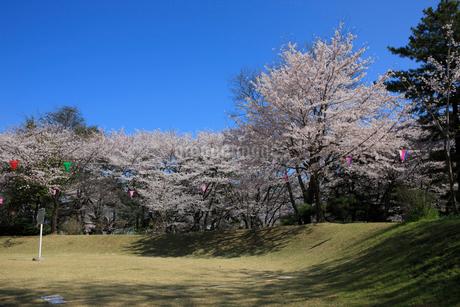 城之内公園と桜の写真素材 [FYI02650851]