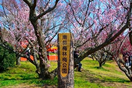 南部うめ梅林梅公園の写真素材 [FYI02650924]