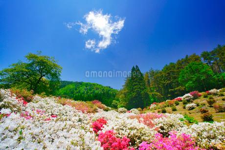 ツツジと女神岳と新緑の木立の写真素材 [FYI02650934]